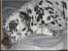Dalmatians Rule!